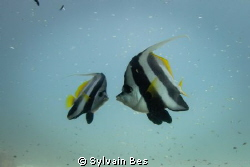 Moorish Idol Kiss